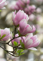 Beautiful Flourishing Pink White Magnolia Tree Branches