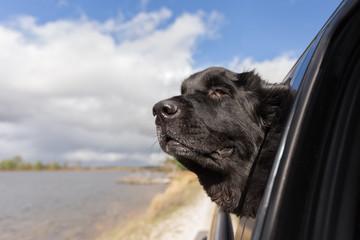 Resultado de imagen para newfoundland dog head out of the car
