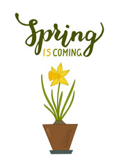 Daffodils in pot and lettering Spring is coming on white background. Hand drawn spring vector illustration.