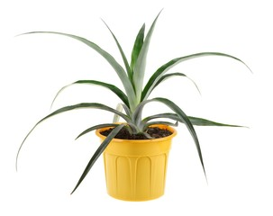 Pineapple in a yellow plant pot isolated on white background