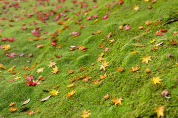 Green moss with maple leaf drop rainforest ground in autumn season