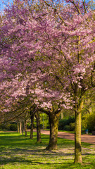 Cherry tree blossom. Beautiful nature scene with blooming tree