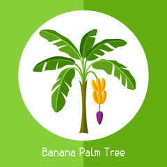 Banana palm tree. Illustration of exotic tropical plant
