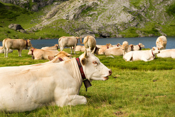 herd of cows in the alpine pastures