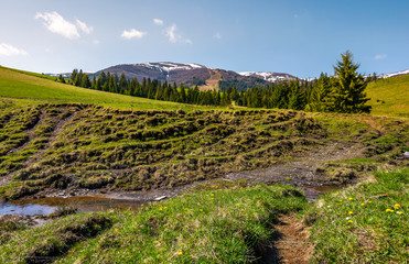 meadows and spruce forest on hills. beautiful springtime landscape in mountains