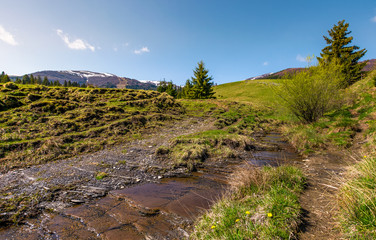 brook among the slopes with spruce forest. beautiful springtime landscape in mountains