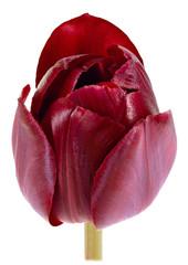 single isolated dark Tulip