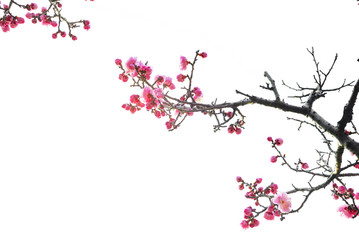 Plum Blossom in early spring. Located in Plum Blossom Hill, Nanjing, Jiangsu, China.