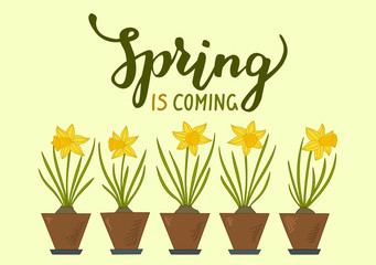 Spring is coming. Five daffodils with lettering Spring is coming. Vector illustration.
