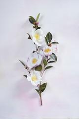 Camellia sassanqua Narumigata