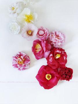 Camellias on white background