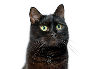 Head of young black cat isolated on white
