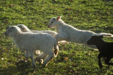 Canvas Prints Sheep Schapen met lammeren in de wei in het voorjaar