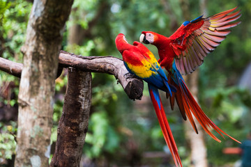 Fotobehang Papegaai Two Scarlet Macaw Playing on Branch