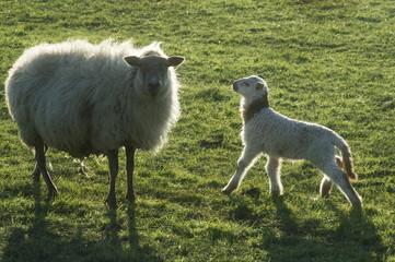 Garden Poster Sheep Schapen met lammeren in de wei in het voorjaar