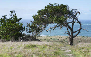 Monterey pine tree on Central California Coast