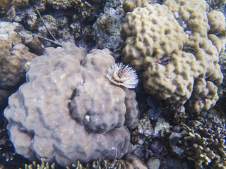 Feather duster worm on coral. Tropical sea bottom ecosystem. Coral reef animals.