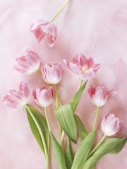 Pink fringed tulips