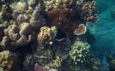 Clownfish in tropical seashore underwater photo. Coral reef animal.