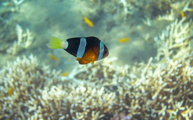 Yellow black Clownfish in seashore. Coral fish underwater photo.