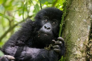 Mountain gorilla infant