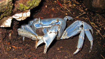 Close-up view of a blue land crab, Cardisoma guanhumi, Central America, Costa Rica