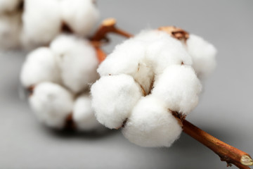 Cotton flower on branch against grey background, closeup