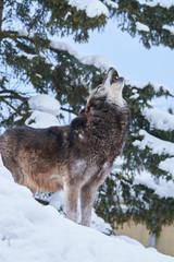 シンリンオオカミの遠吠え