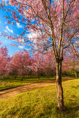 Thailand's Cherry Blossom at National Park