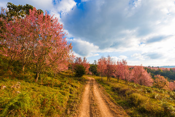 Thailand's Cherry Blossom at National Park