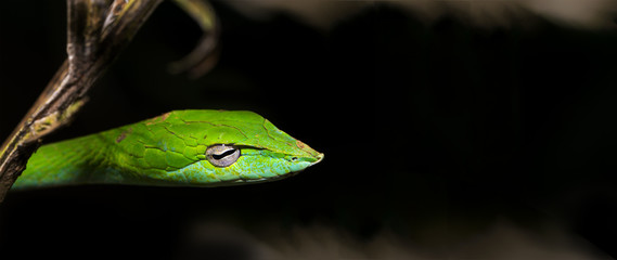 Beautiful green Vine snake (Ahaetulla nasuta) hanging from the branches side portrait against dark natural background