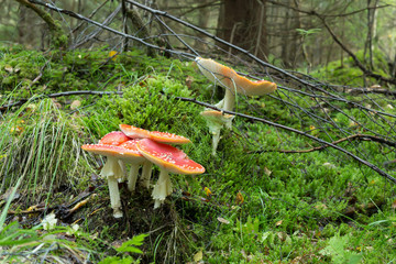 Fly agaric, Amanita muscaria growing in coniferous forest