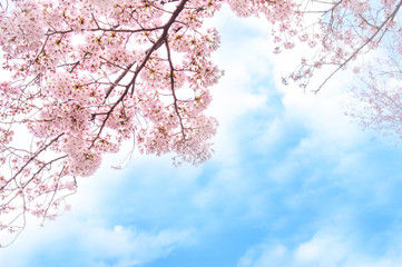 Foto op Plexiglas Kersenbloesem 満開の桜 青空