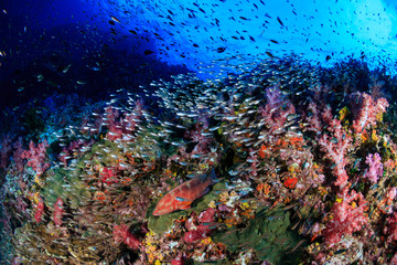 Keuken foto achterwand Koraalriffen Grouper and a variety of tropical fish on a healthy, colorful coral reef in Thailand