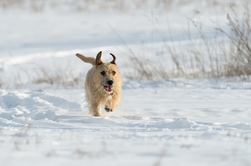 A small white Jack Russell Terrier dog is playing around in a meadow where there is a lot of snow in the winter.