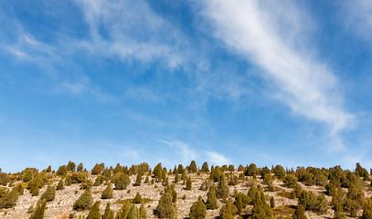 Enebros de incienso, Sabinas albares y cielo azul. Juniperus thurifera.