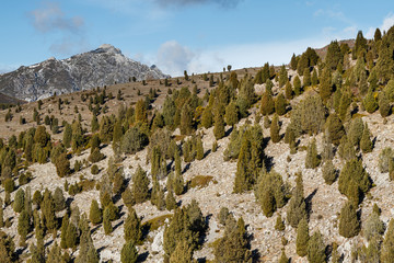 Juniperus thurifera. Sabinas albares, enebros de incienso en la montaña.