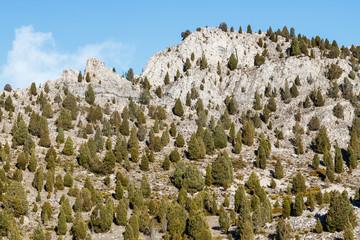 Sabinas albares, enebros de incienso en la montaña. Juniperus thurifera.