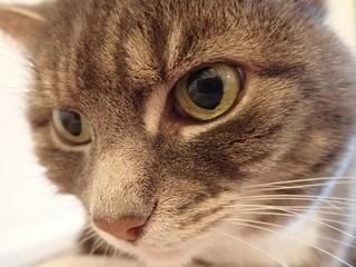 Cute Tabby Cat Close Up of Face