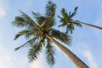 Two coconut palm trees against blue sky, view from below