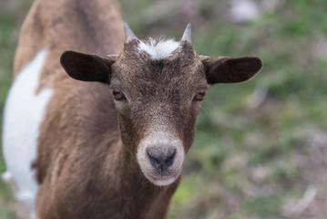 White and brown wild goat, head