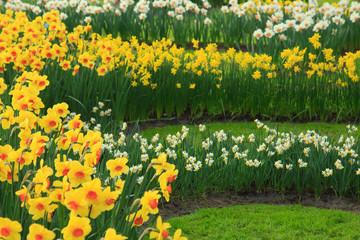 Fotoväggar - Narzissen im Frühling