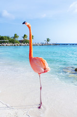 Foto auf Leinwand Flamingo Pink flamingos walking on the beach, Aruba island, Caribbean sea