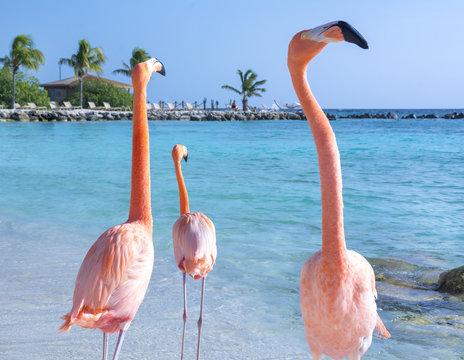 Pink flamingos walking on the beach, Aruba island, Caribbean sea