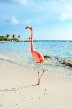 Pink flamingo standing on the beach, Aruba island
