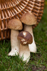 forest harvests during a walk in the forest - mushrooms, boletus, boletus. mushrooming