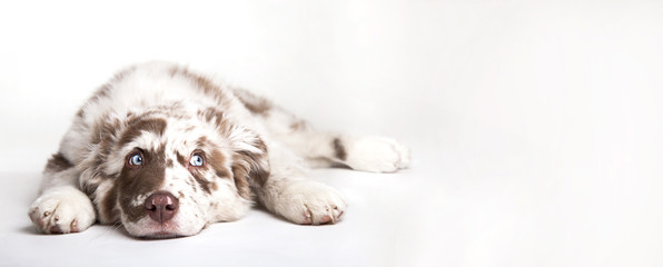 The studio portrait of the puppy dog Australian Shepherd lying on the white background, looking at the copy space Wall mural