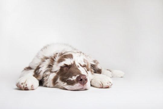 The studio portrait of the puppy dog Australian Shepherd lying and sleeping on the white background,