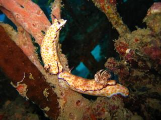 Meeresschnecke bei der Paarung