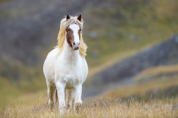 Horse in Iceland Wall mural